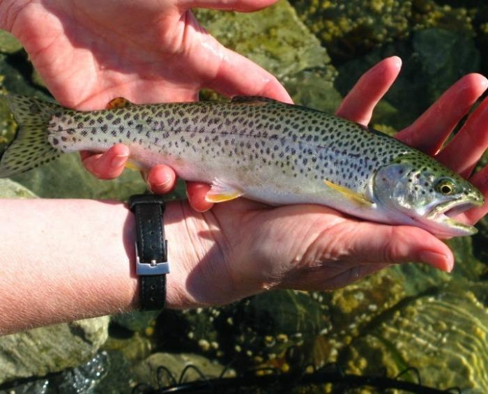 uk fish species