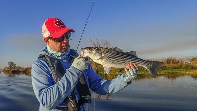 california striped bass